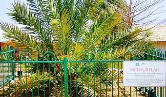 judean-palm-dates-make-a-comeback-thumb